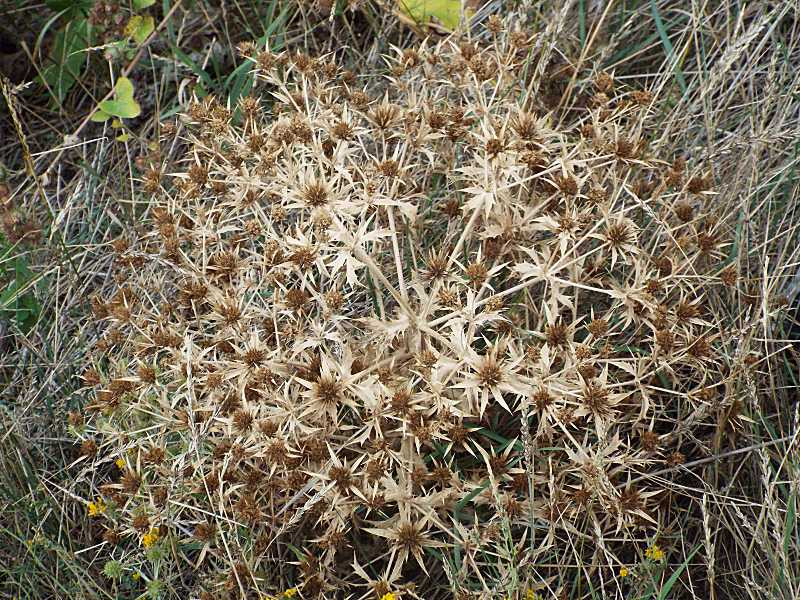 Миколайчики рівнинні (Eryngium campestre)