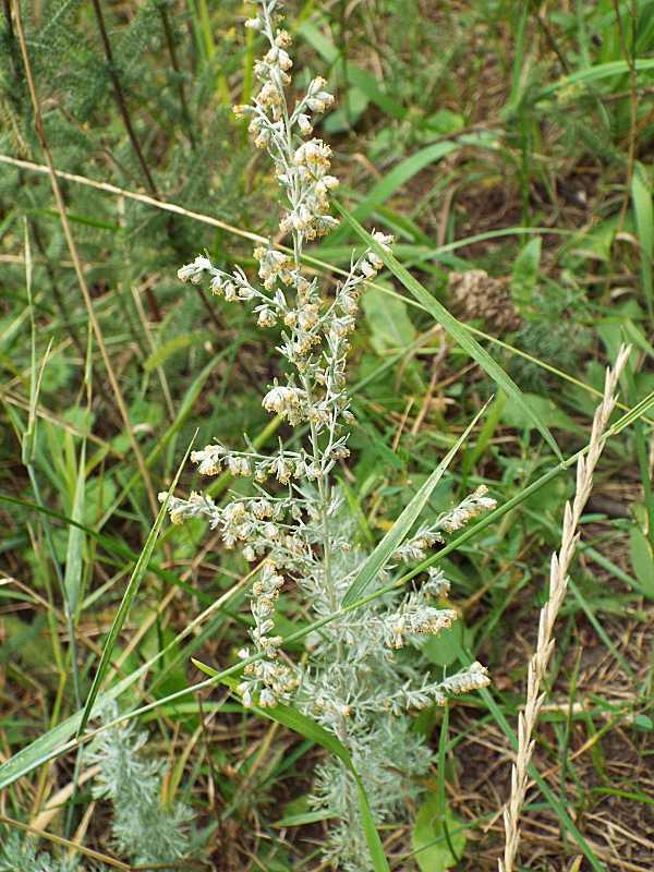 Полин татарський (Artemisia tatarica)