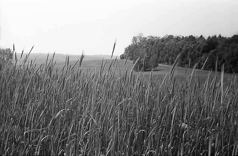 1978 р. Поле жита на тлі лісу
