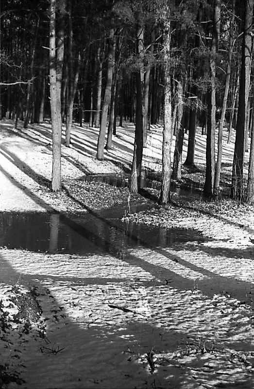 1979 р. Ліс у Новобіличах
