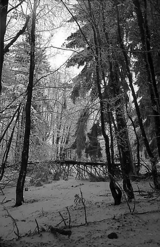 1979 р. Засніжений ліс на горі