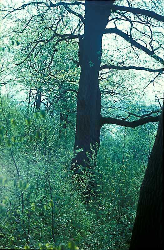 1977 р. Дуб у ботанічному саду біля…